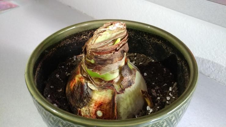 Amaryllis bulb